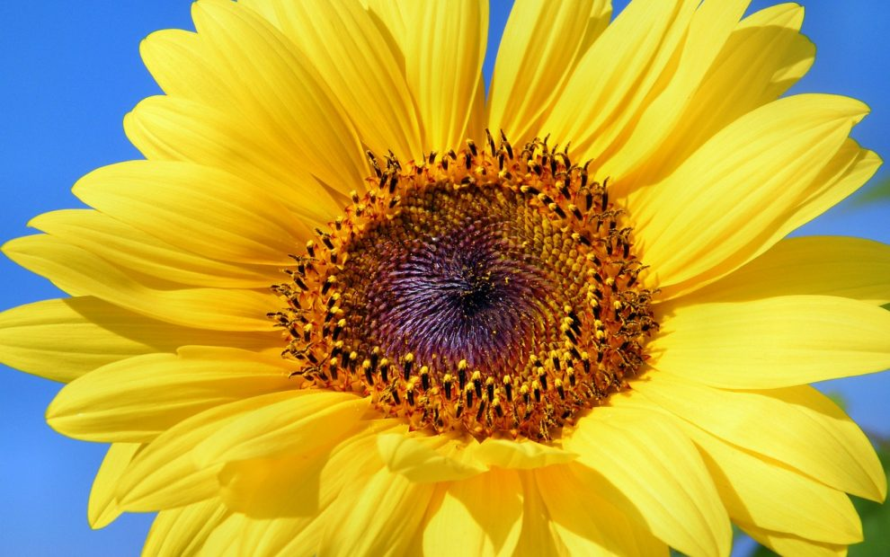 Image Sunflower BarbaraFicarra.com