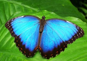 Butterfly Blue BarbaraFicarra.com Design Your Healthy Life(TM)