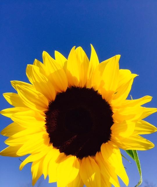 Sunflower Medium Photo by Barbara Ficarra BarbaraFicarra.com Healthy and Happy by Design